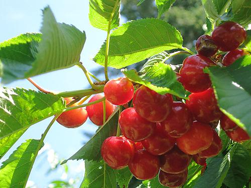 Cherries 025