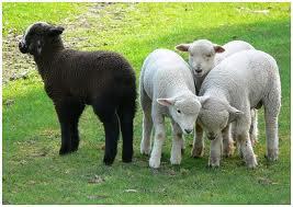 Sheepblack